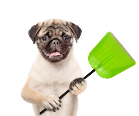 Funny puppy  holds a shovel. isolated on white background. Reklamní fotografie