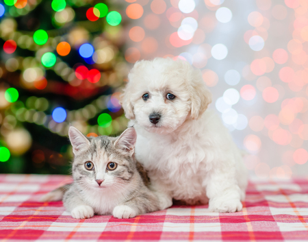 bichon frise puppy and cat on a background of the Christmas tree. Stock Photo