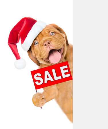 Funny puppy  in red christmas hat with sales symbol above white banner. isolated on white background. Stock Photo