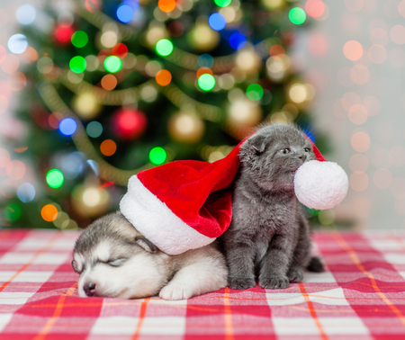 Playful kitten and sleeping puppy in red christmas hat on a background of the Christmas tree.
