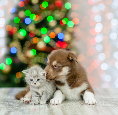Husky puppy licking kitten on a background of the Christmas tree.
