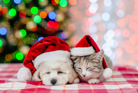 Sleeping bichon frise puppy and cat in red santa hats on a background of the Christmas tree. Archivio Fotografico