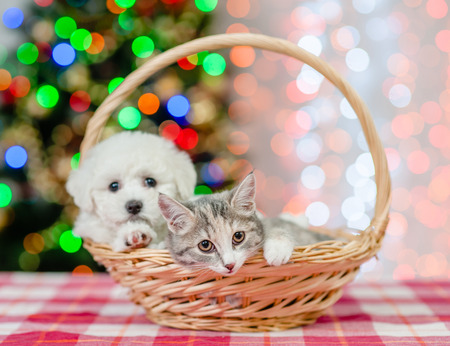 Sad cat and bichon frise puppy in basket on a background of the Christmas tree. Stockfoto