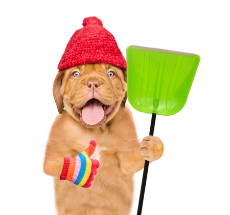 Funny puppy  wearing a warm hat with pompon,  holds a shovel and shoving thumbs up. isolated on white background.
