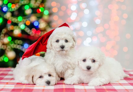 Group of a bichon frise pupies in red santa hat on a background of the Christmas tree.
