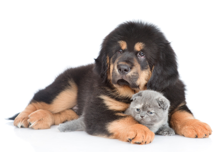 Puppy of a Tibetan mastiff hugs a little tabby kitten. isolated on white background. Reklamní fotografie