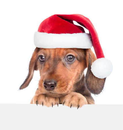 Sad dachshund puppy in red santa hat above white banner. isolated on white background. Space for text.