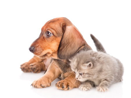 dachshund puppy with kitten looking away.  isolated on white background. Stock Photo