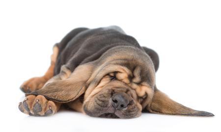 Sleeping bloodhound puppy. isolated on white background.