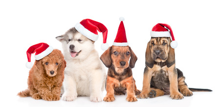 Group of purebred puppies in red christmas hats . isolated on white background. Stock Photo