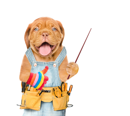 Happy puppy worker with tool belt holds pointing stick. Isolated on white background. Space for text. Stock Photo