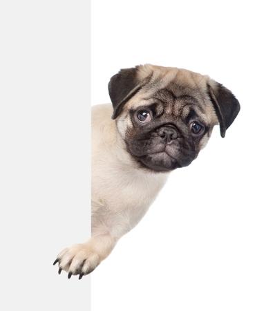 Sad pug puppy above white banner. isolated on white background. 版權商用圖片
