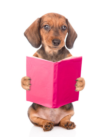 Dachshund dog reading a open book. isolated on white background. Stock Photo