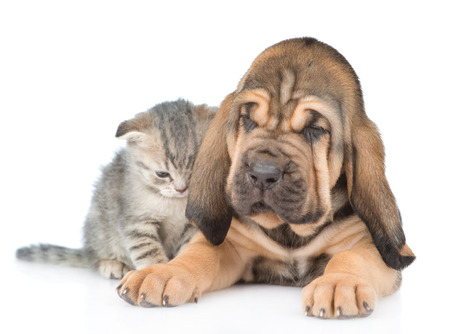 Bloodhound puppy with tabby kitten lying together. isolated on white background.