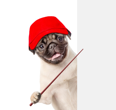 Dog in red cap holding a pointing stick and points on empty white banner. isolated on white background.