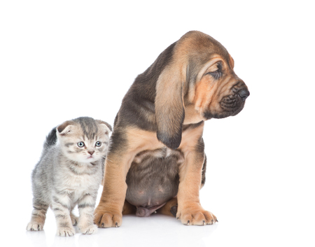 Bloodhound puppy with tabby kitten together. isolated on white background. Stock Photo
