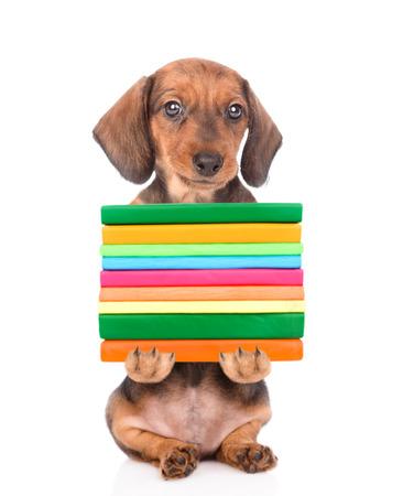 dachshund puppy holding books. isolated on white background. Reklamní fotografie