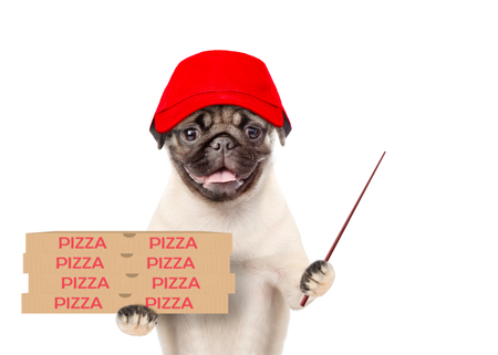 Funny pizza delivery puppy in red cap with pizza boxes and pointing stick. isolated on white background.