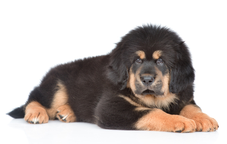Tibetan mastiff puppy lying in side view and looking at camera. isolated on white background.