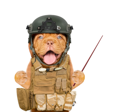 Funny puppy in protective helmet and  tactical vest holds pointing stick. isolated on white background. Stock Photo