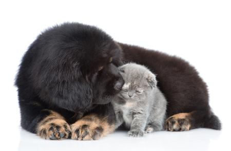 Tibetan mastiff puppy sniffing a tiny kitten. isolated on white background. Standard-Bild