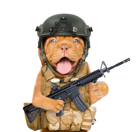 Funny puppy in protective helmet and  tactical vest with M16 rifle in paws. isolated on white background.