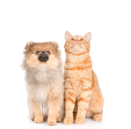 spitz puppy and cat looking up. isolated on white background. Stock Photo
