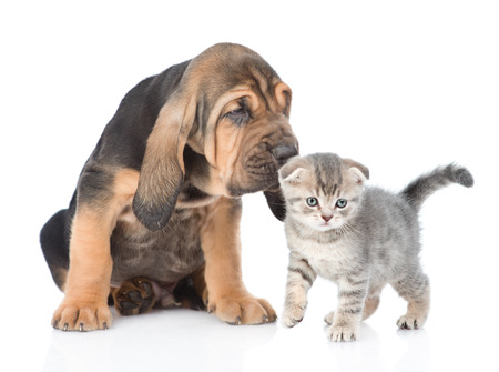 Bloodhound puppy sniffing a kitten. isolated on white background.