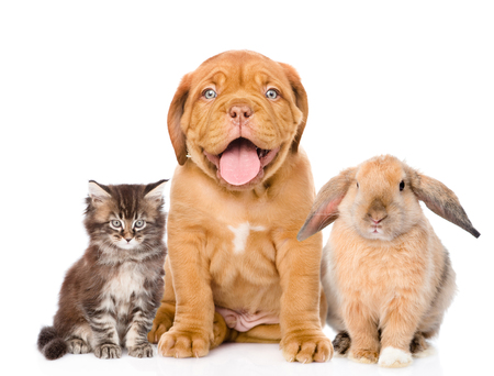 Cat, dog and rabbit sitting together, isolated on white background.