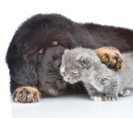 Tibetan mastiff puppy kissing a tiny kitten. isolated on white background.