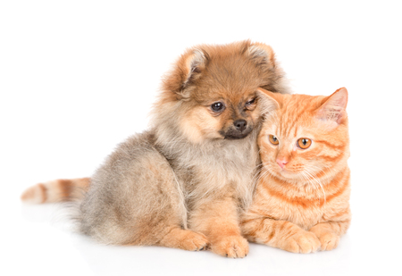 Cute spitz puppy embraces a kitten. looking at camera. isolated on white background.