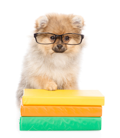 smart spitz puppy with glasses standing on a books. isolated on white background.