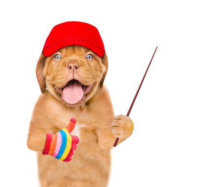 Dog in red cap holding a pointing stick and showing thumbs up. isolated on white background.
