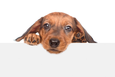 dachshund puppy above white banner. isolated on white background. Space for text. Stock Photo