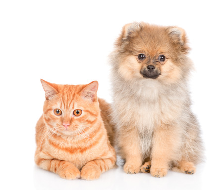 spitz puppy and and tabby cat  together. isolated on white background.
