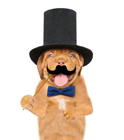 puppy gentleman wearing tie bow and cylinder hat holds  mustache on stick. isolated on white background. Standard-Bild