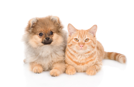 Cute spitz puppy and red cat lying together and looking at camera. isolated on white background.