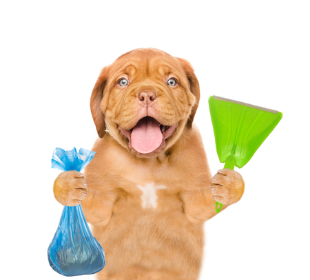 Puppy holds plastic bag and scoop. Concept cleaning up dog droppings. isolated on white background.