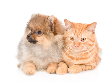 spitz puppy and and tabby cat lying together. isolated on white background.