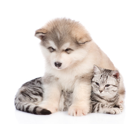 Alaskan malamute puppy hugging tabby cat and looking down.  isolated on white background. Stock Photo
