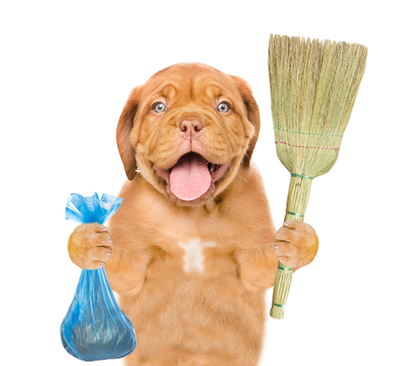 Puppy holds plastic bag and broom. Concept cleaning up dog droppings. isolated on white background.