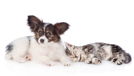 Cute papillon puppy and sleeping scottish tabby kitten. isolated on white background.