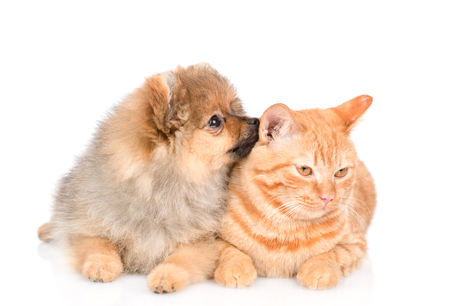 Spitz puppy sniffs a cat. isolated on white background.