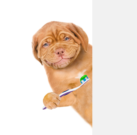 Happy puppy with toothbrush behind white banner. isolated on white background. Фото со стока