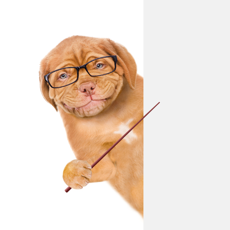 Smart dog with eyeglasses holds a pointing stick and points on empty banner. isolated on white background.