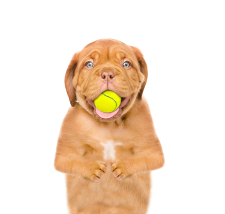 Funny puppy with tennis ball in the mouth. isolated on white background Stock Photo