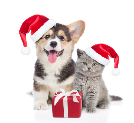 Pembroke Welsh Corgi puppy and kitten in red christmas hats sitting with gift box. isolated on white background. Foto de archivo
