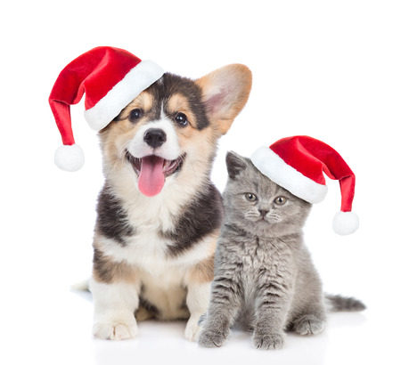 Pembroke Welsh Corgi puppy and kitten in red christmas hats sitting in front view together. isolated on white background.