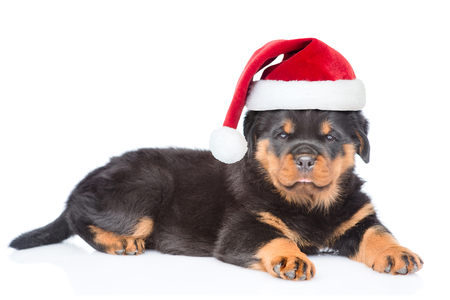 Little rottweiler puppy in red christmas hat lying with gift box. Isolated on white background. Stock Photo