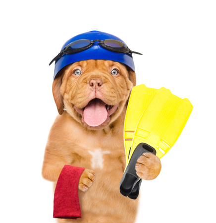 Dog with swimming hat and glasses holds flippers and towel. isolated on white background. Stock Photo